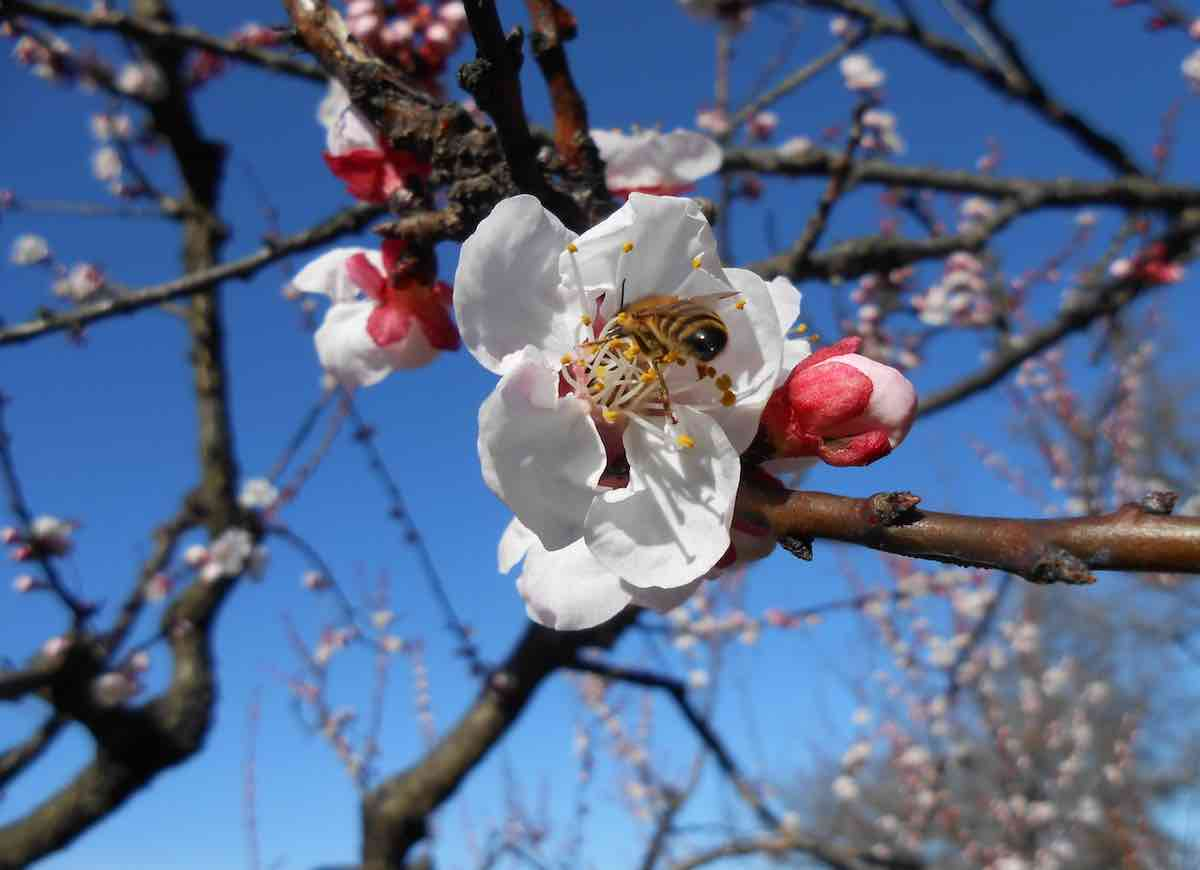 fiore ape