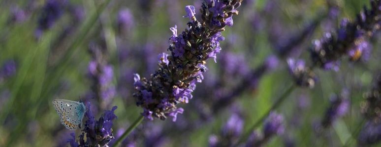 farfalla lavanda