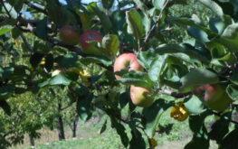 mele albero