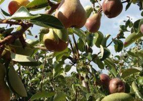 albero frutti pere