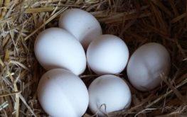 galline livornesi uova bianche